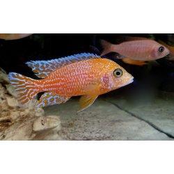 Kaiserbarsch Aulonocara sp. fire fish, eigene Zucht, Jungtiere