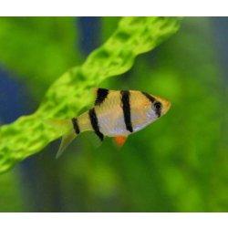 Sumatrabarbe Barbus tetrazona