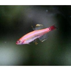 Goldener Kardinalfisch Tanichthys albonubes