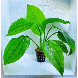 Horizontale Schwertpflanze Echinodorus horizontalis
