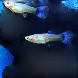 Guppy - Poecilia reticulata neon blue Weibchen