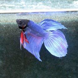 Kampffisch Betta splendes long tail blue flower, Männchen