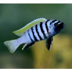 Cynotilapia Zebroides (Cynotilapia afra) Jalo Reef