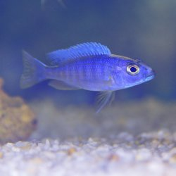 Stahlblauer-Maulbrüter - Sciaenochromis fryeri (ahli)