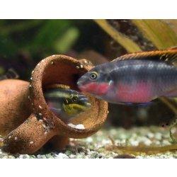 Purpurprachtbarsch Pelvicachromis pulcher Jungtier