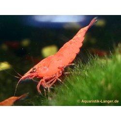 Rote Sakura Neocaridina davidi (heteropoda)  red sakura günstig kaufen Aquaristik-Langer