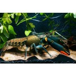 Cherax lorentzi Flusskrebs für das Aquarium Aquaristik-Langer