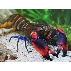 Papuakrebs Cherax boesemani tricolor Flusskrebse günstig kaufen Aquaristik-Langer