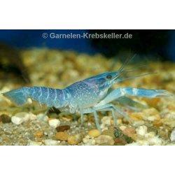 Rotscherenkrebs Red Claw Cherax quadricarinatus Flusskrebse kaufen Aquaristik-Langer