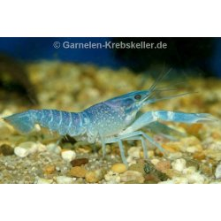 Rotscherenkrebs Red Claw Cherax quadricarinatus...