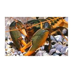 Orange tip Feuerkrebs Cherax snowden (holthuisi) Flusskrebse günstig kaufen Aquaristik-Langer